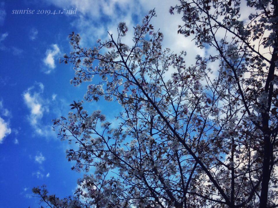 朝2019.4.1_桜