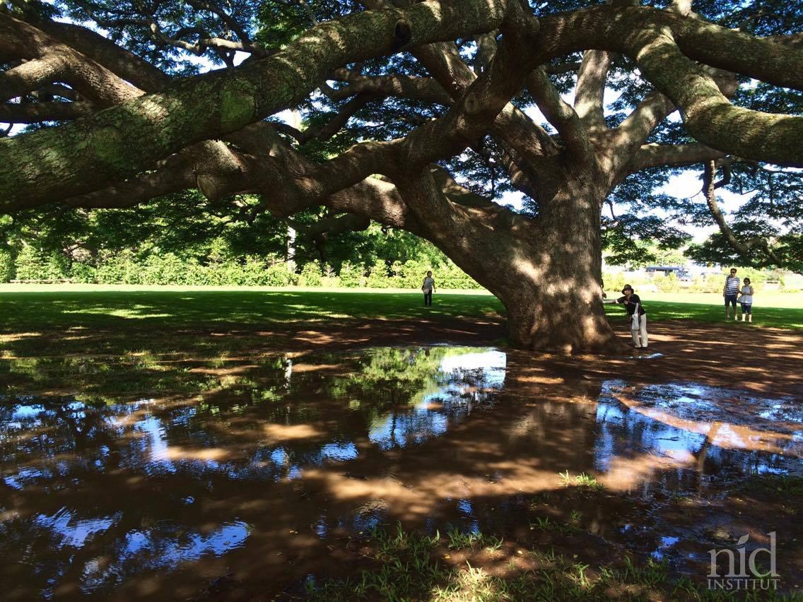 Hawaiiエナジーチャージ2016.8_この木なんの木。雨が美しい鏡を。