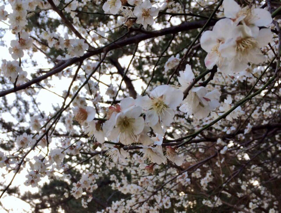 朝日2019.2.24_公園の梅