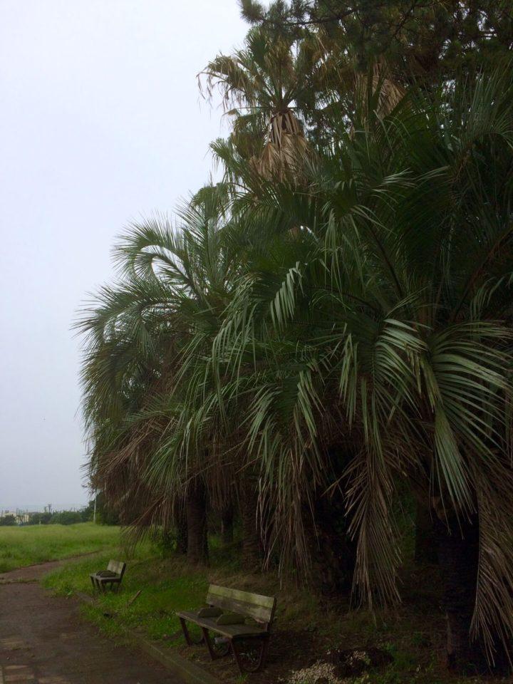湘南海岸公園のヤシの木たち