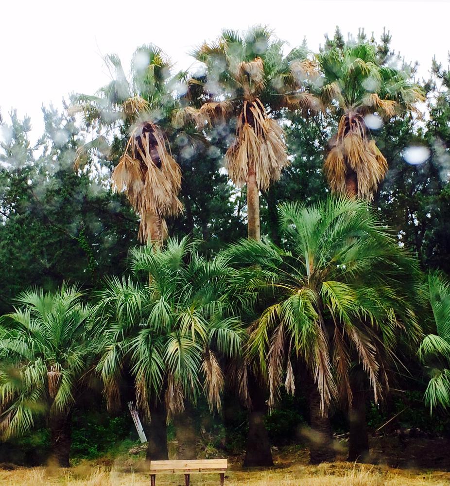 湘南海浜公園2014_7_5_ヤシの木