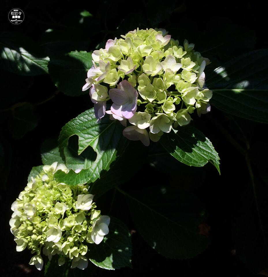 松岩寺08.6_紫陽花
